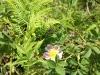 130714061_b_wilde-rose