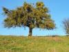 151206037_B_Misteln am Apfelbaum