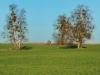 151206038_B_Misteln am Birkenbaum