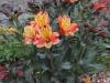 190622042_Blu_alstroemeria-orange-king