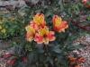 190622043_Blu_alstroemeria-orange-king