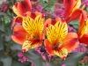 190622044_Blu_alstroemeria-orange-king